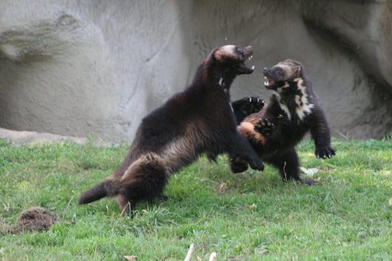 Wolverine animal wolverine is my favorite animal wolverines - Wolverine Fight