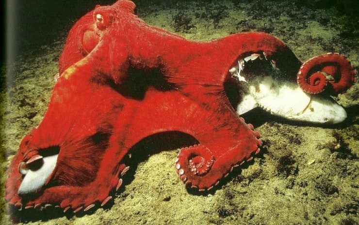 Giant Pacific Octopus eating a Shark - photo#2