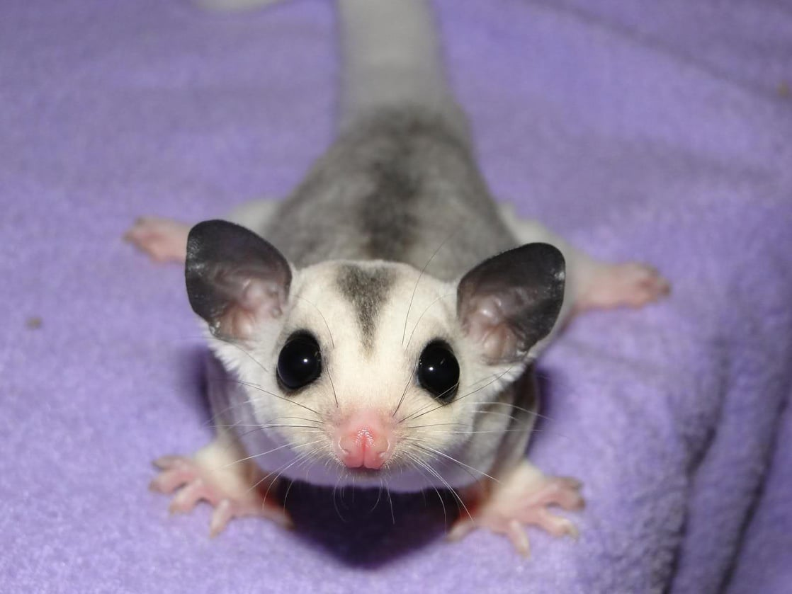 book report of sugar glider The book is mostly about leadbeater's possums, but there is plenty of interesting information on sugar gliders in fact, hackett's household pet and all-day shoulder-rider was a sugar glider, not a leadbetter's possum.