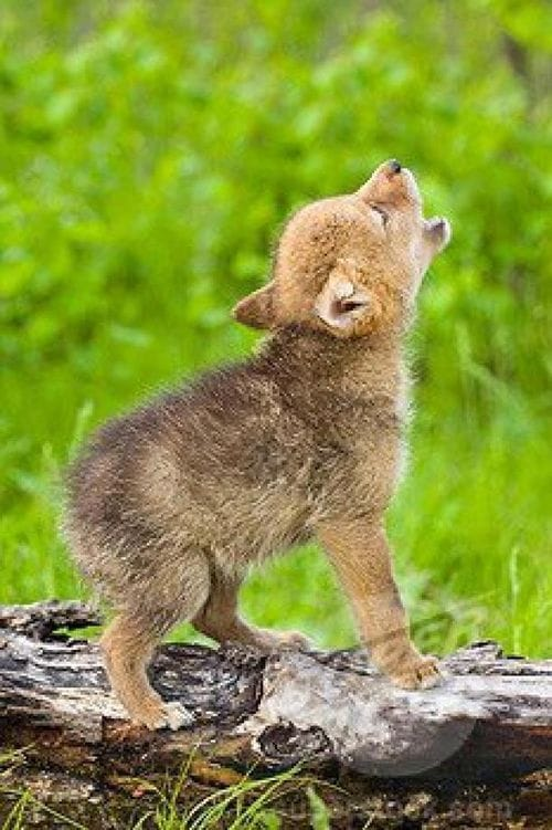 Baby Coyote howling